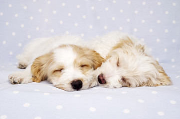 Two puppies laid asleep on a blue background