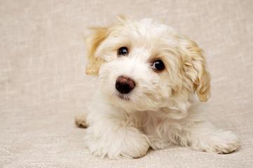 Puppy laid on a textured beige background