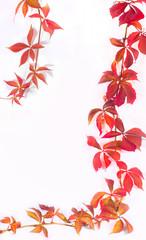 Wall Mural - Autumn clematis