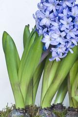 Wall Mural - Blue hyacinth