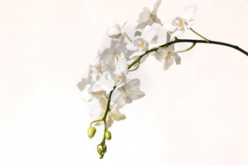 Wall Mural - White orchid flower