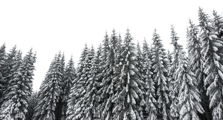 snow covered forest isolated