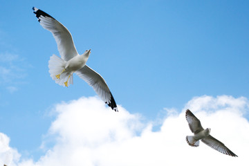 Two Seagulls Soaring Against a Blue Sky