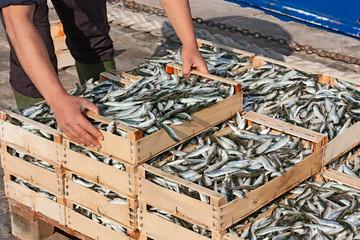 Fototapeten Fisch mediterranean sardines