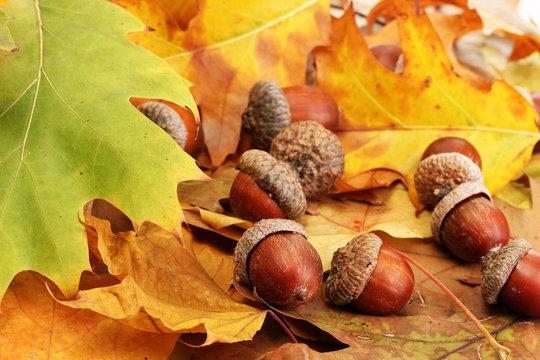 Autumn Acorns Blouse