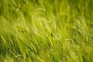 Ear of Wheat in the wind