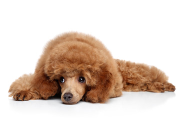 Wall Mural - Toy Poodle puppy resting on a white background