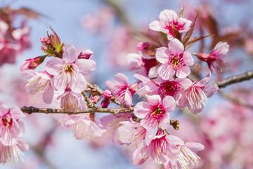 Cherry blossoms or sakura flower in full bloom