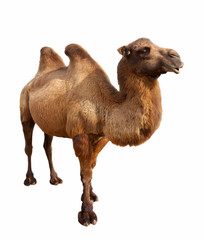 Foto op Canvas Kameel bactrian camel. Isolated on white