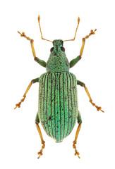 Polydrusus thalassinus