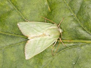 Green moth on leaf, macro photo