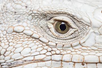 iguana face.