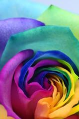 Fototapete - Close up of rainbow rose heart