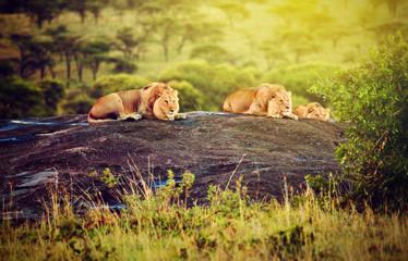 Lions on rocks on savanna at sunset. Safari in Serengeti, Africa