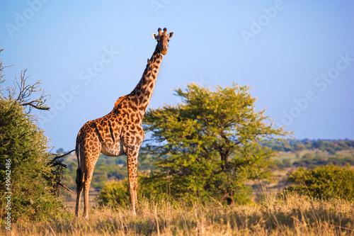 Wall mural Giraffe on savanna. Safari in Serengeti, Tanzania, Africa
