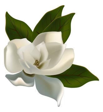 single magnolia flower isolated on white