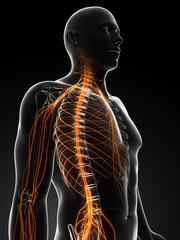 3d rendered illustration of the male nerves