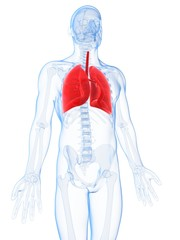 3d rendered illustration of the male lung