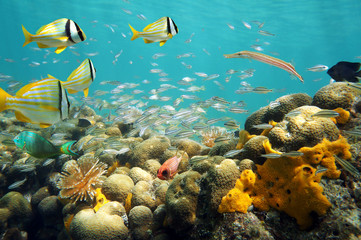 Thriving sea life underwater with school of tropical fish in a coral reef, Caribbean sea