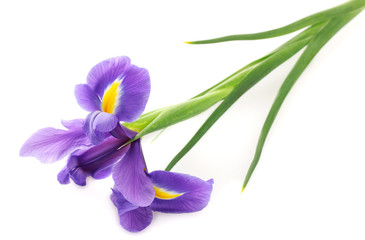 Spoed Fotobehang Iris Purple iris flower, isolated on white