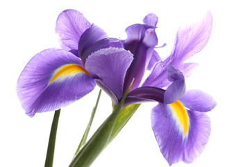 Foto op Canvas Iris Purple iris flower, isolated on white