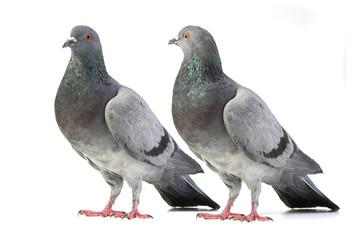 pigeons Wall mural