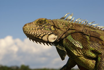 Iguana Amazon in Colombia