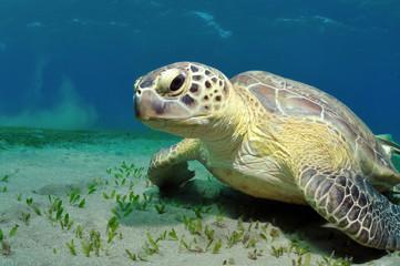sea turtle
