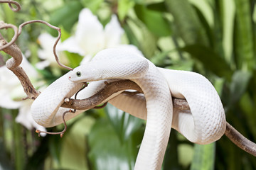 White Texas rat snake