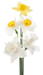 Photo sur Aluminium daffodil