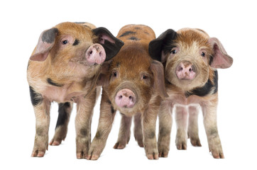 Front view of Three Oxford Sandy and Black piglets
