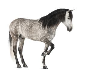 Andalusian raising front leg, 7 years old