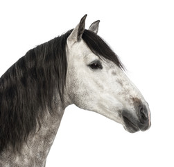 Close-up of an Andalusian head, 7 years old