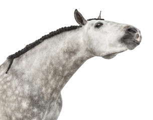 Close-up of an Andalusian head, 7 years old, stretching its neck