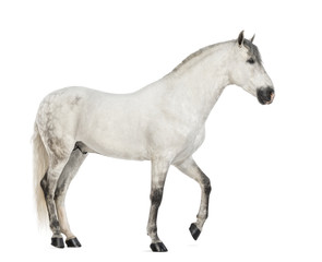 Side view of a Male Andalusian, 7 years old