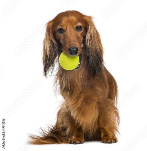Wall mural Dachshund, 4 years old, sitting with tennis ball in mouth