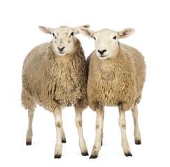 Fond de hotte en verre imprimé Sheep Two Sheep against white background