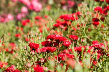 park full of red roses