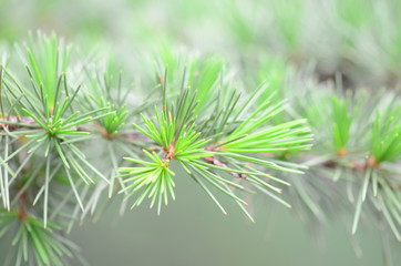 pine tree as a background