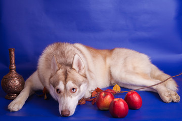 Siberian Husky on the blue background