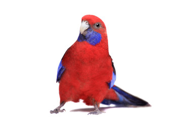 Crimson Rosella (Platycercus elegans) on white background.