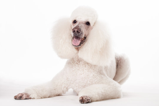 White Royal poodle isolated on the white background