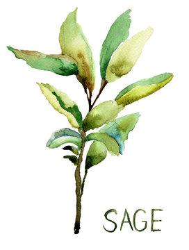 Sage, watercolor illustration