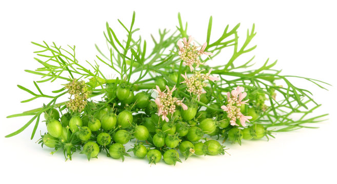 Coriander flower with leaves over white background