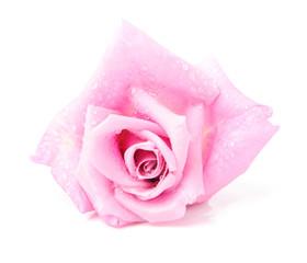 Beautiful rose isolated on white backgroun
