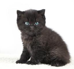Black british short hair kitten