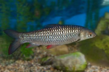 Common roach in aquarium