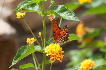 Monarch Butterfly Sitting on Lantana