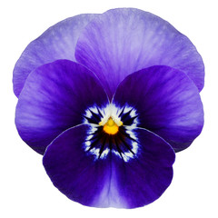 Poster Pansies Blue pansy isolated on white with clipping path
