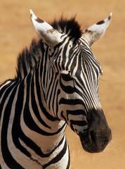Portrait of a Plains Zebra (Equus Quagga), Ngorongoro, Tanzania